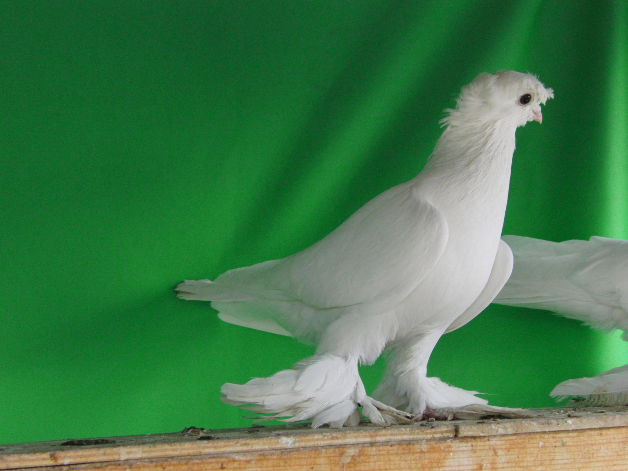фото голубей всех пород трехраздельная голометельчатая отличаются