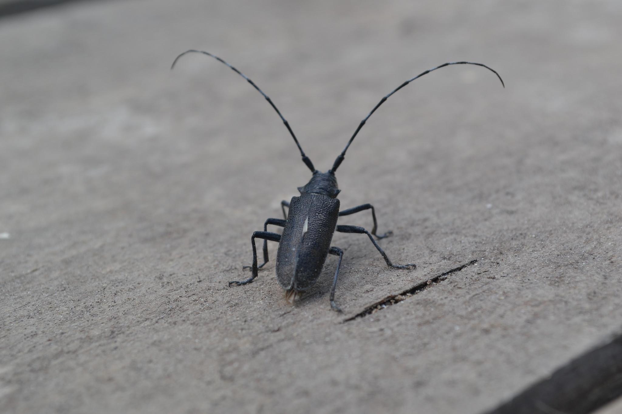 фото и название жуков с длинными усами короля красоты